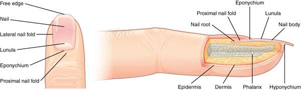 Parts Of Nails